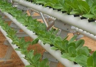 Budidaya tanaman sawi putih pdf free