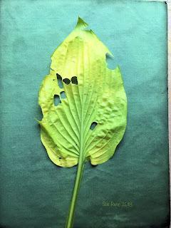 Wet cyanotype_Sue Reno_Image 432