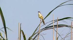 Burung Ciblek - Jenis Burung Ciblek Orthotomus Castaneiceos - Penangkaran Burung Ciblek