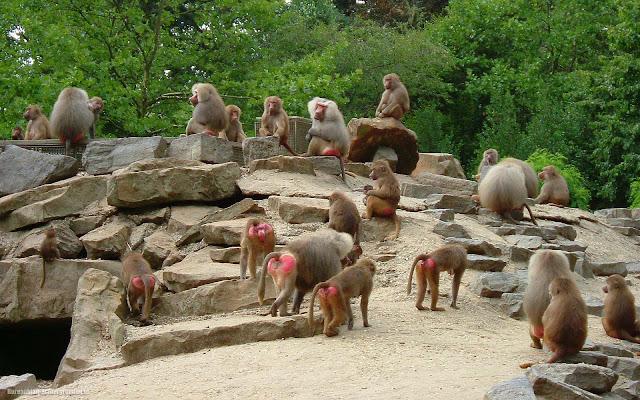 Groep apen op de rotsen in dierentuin Emmen