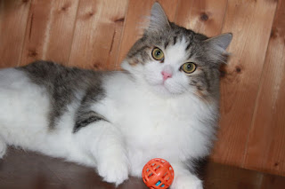 Ragamuffins kitten for adoption