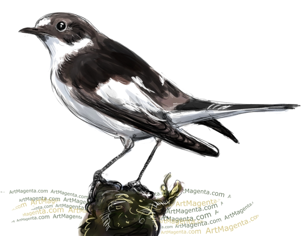 Pied Flycatcher sketch painting. Bird art drawing by illustrator Artmagenta