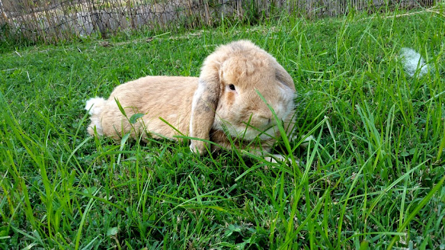 Beige lop eared rabbit laying in grass.