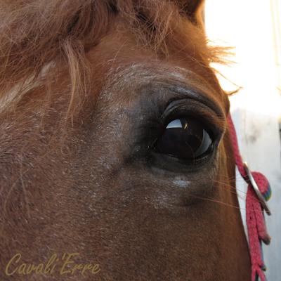 oeil d'un cheval en gros plan avec poils blancs autour de l'oeil