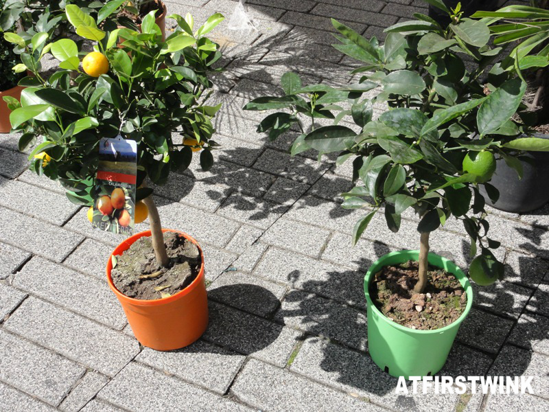 flower market rotterdam lime and mandarin trees
