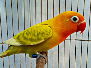 Mengetahui 4 Ciri Ciri Lovebird Bahan Prospek Lomba Ngekek Panjang Paling Akurat