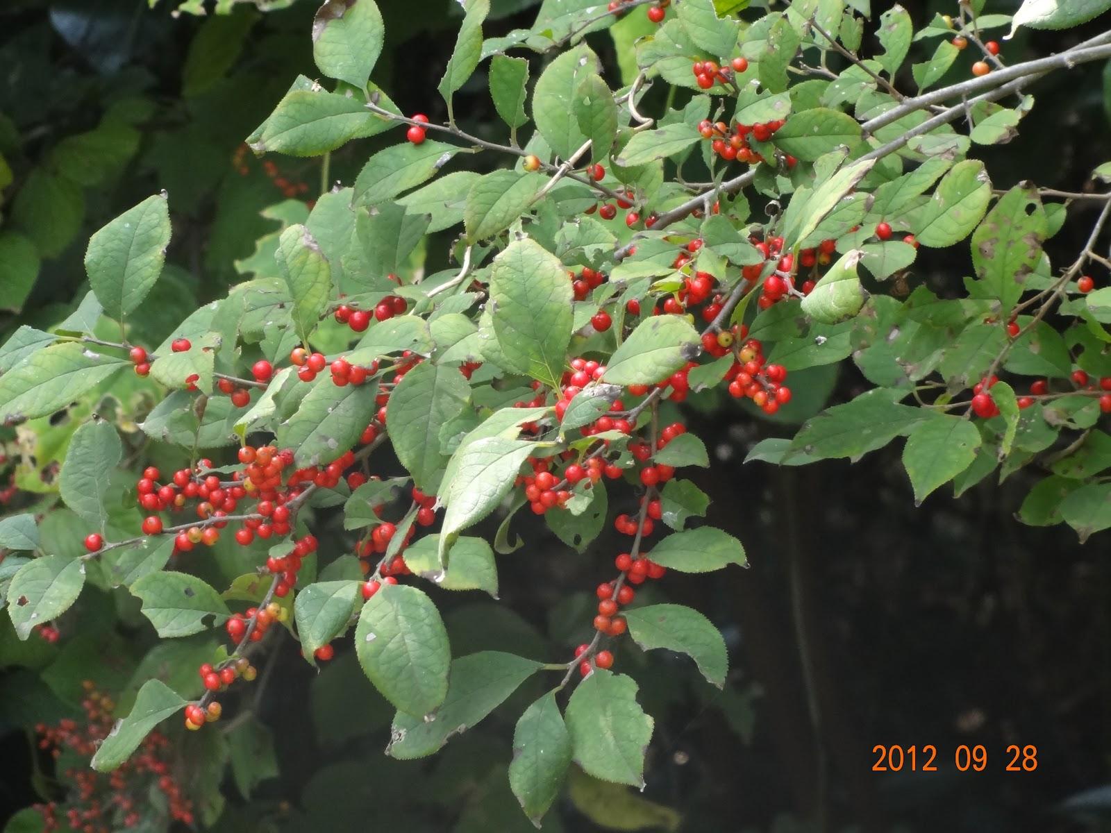 紫式部 赤い 実