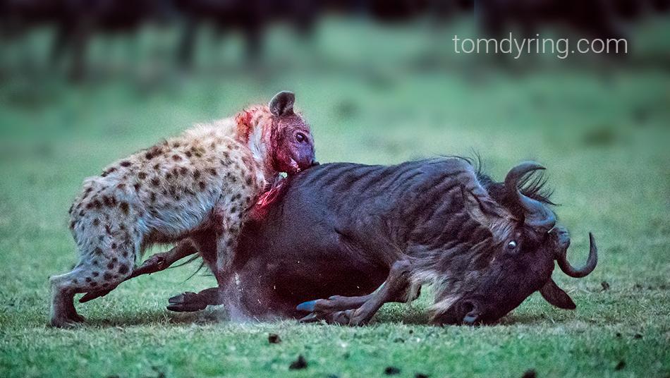 layanan dari hyena di forex