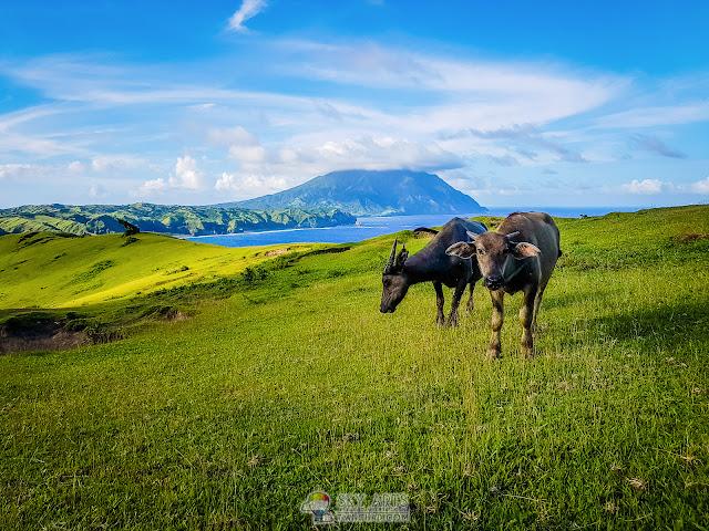 Beautiful scenery in Batanes Basco buffalo