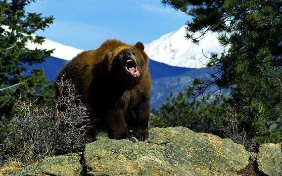 Ljutiti medvjed download besplatne pozadine za desktop 1440x900