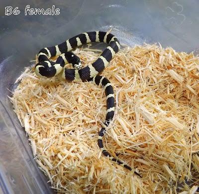 California King snake kingsnake