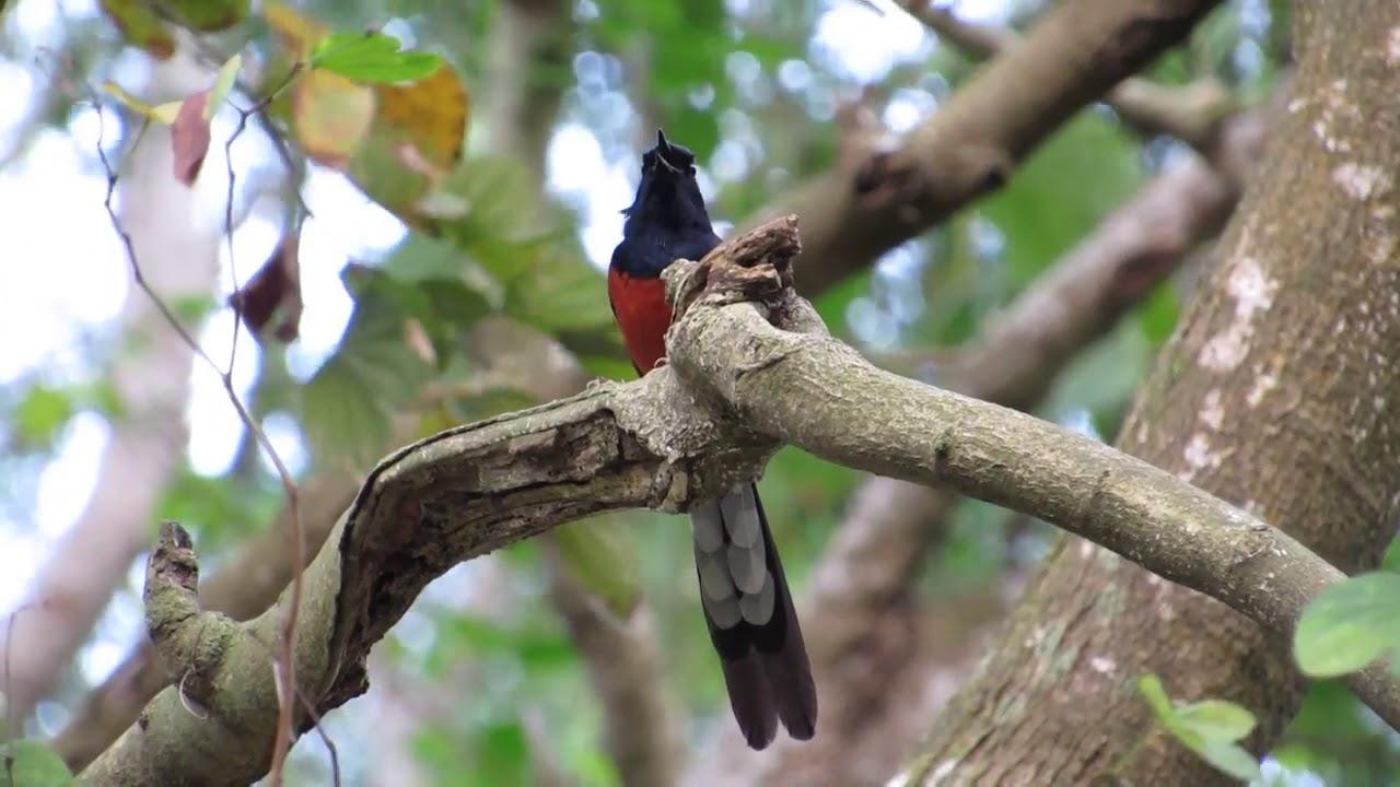burung murai serak