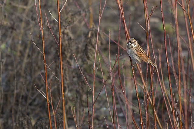 Male Reed Bunting in front of Aqueduct Hide