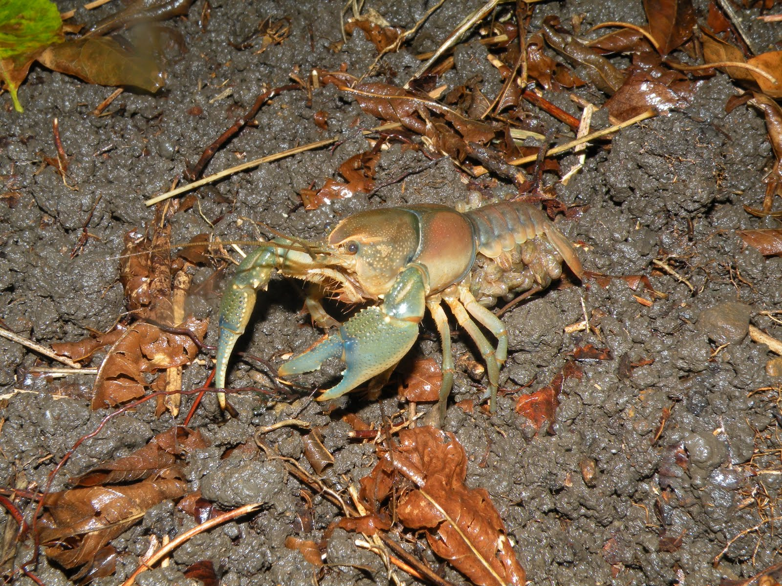 New crayfish discovered in West Virginia. The common name ...