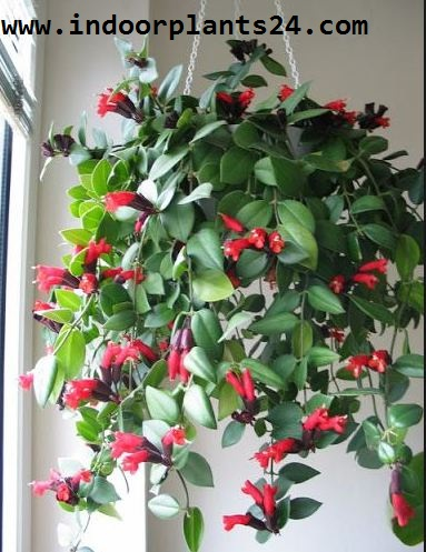 Aeschynanthus lobbianus Gesneriaceae image