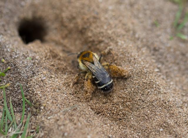 Pantaloon Bee - Minsmere RSPB
