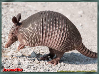 gambar Armadillo binatang insektivora