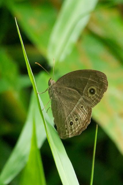 Dark Brand Bush Brown (Mycalesis mineus macromalayana)