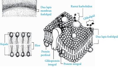 struktur membran sel serta fungsinya