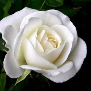 Bunga Mawar Putih, White Rose Flower