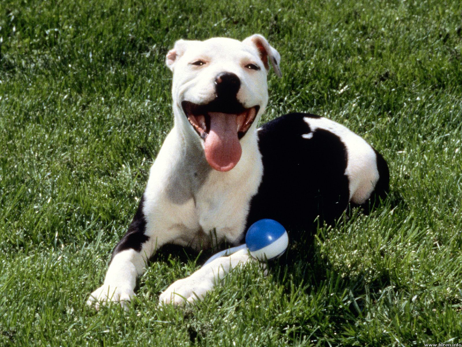 Photos Pitbull Dogs - Perros PitbullBlack And White Pitbull Dogs