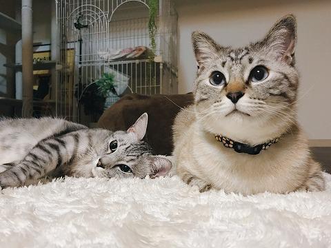 香箱を組んでいるシャムトラ猫と、横たわっているサバトラ猫