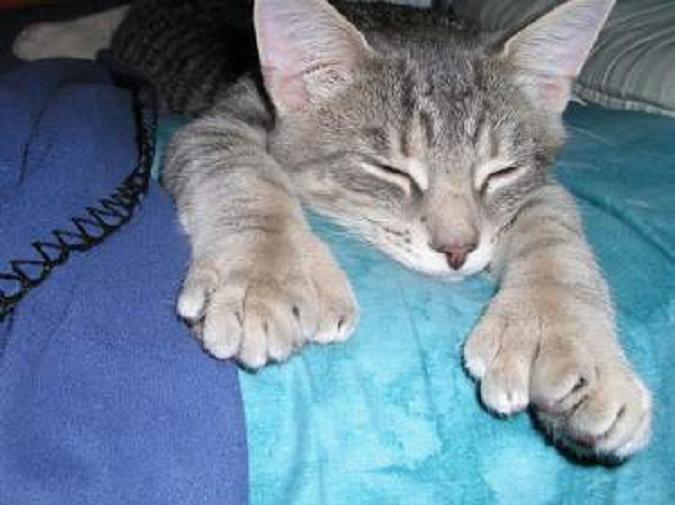 Polydactyl-cats-healthiana