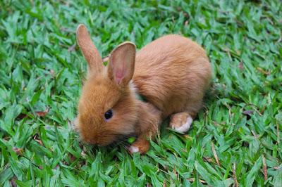 cara memelihara kelinci