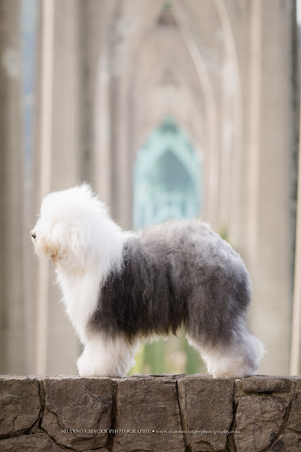 SnowDowne Too | Old English Sheepdogs