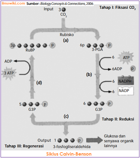 reaksi gelap pada proses fotosintesis