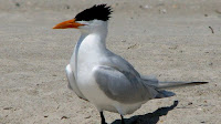 Royal Tern bird pictures_Thalasseus maximus