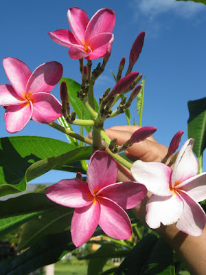 Turks and Caicos pink plumeria flowers by garden muses: a Toronto gardening blog