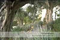 mediterraner Garten - Olivenhain auf Mallorka mit Lavendel, Rosmarin und Kräutern als Unterwuchs