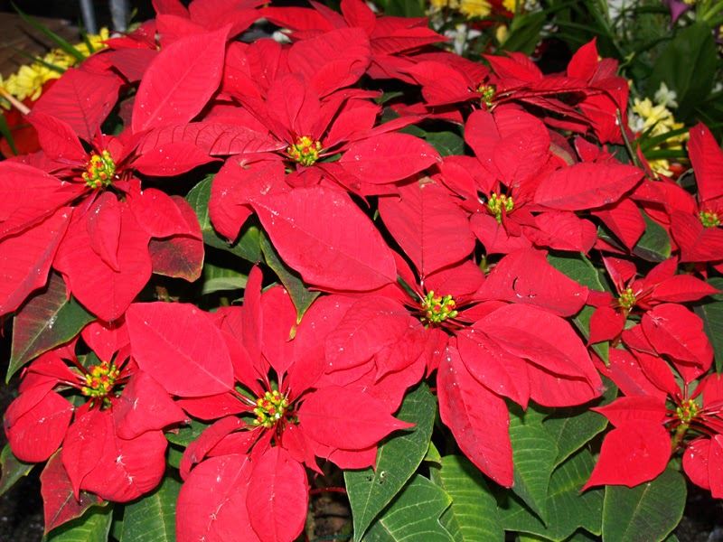 The Poinsettia Or To Give It Its Latin Name Euphorbia Pulcherrima Latter Means Most Beautiful Is A Member Of Spurge Family