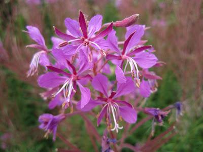 Epilobium angustifolium – Fireweed