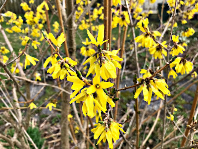 May 3, 2018 Walking in our back garden where the forsythia bloom