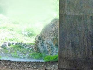 leopardul de amur privind cu interes catre tigrul care tocmai lua masa