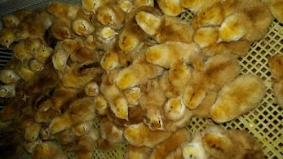 broiler chicken chicks
