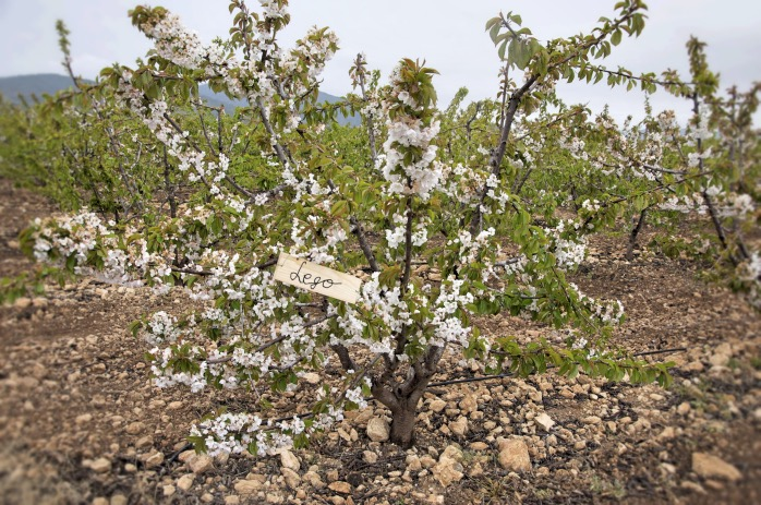 tartaletas de cereza-cerezos en flor