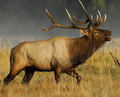 Elk - animals beginning with E