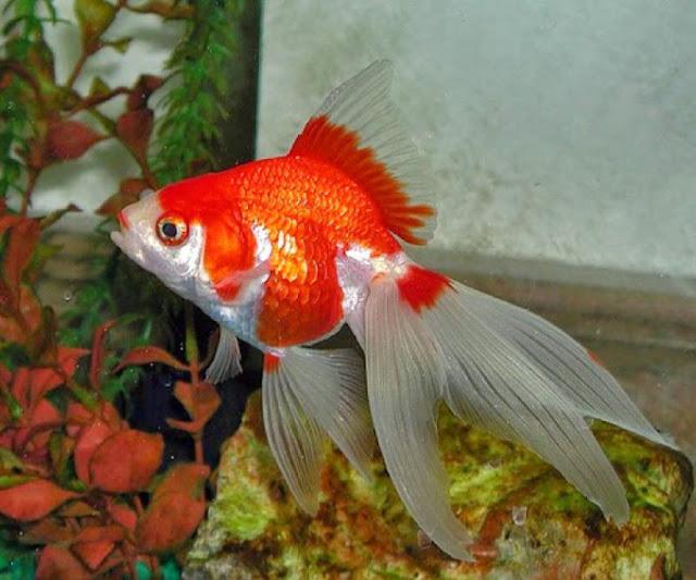 Dunia Ikan Hias - MAS KOKI FANTAIL