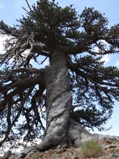 Ψηλά στην Πίνδο, το γηραιότερο δέντρο της Ευρώπης