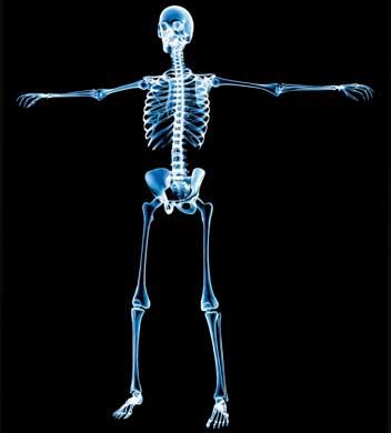 El esqueleto del cuerpo humano - Biología