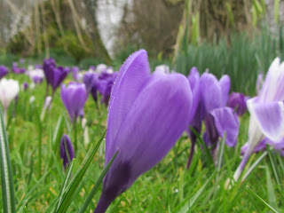 Purple crocus Altamont gardens