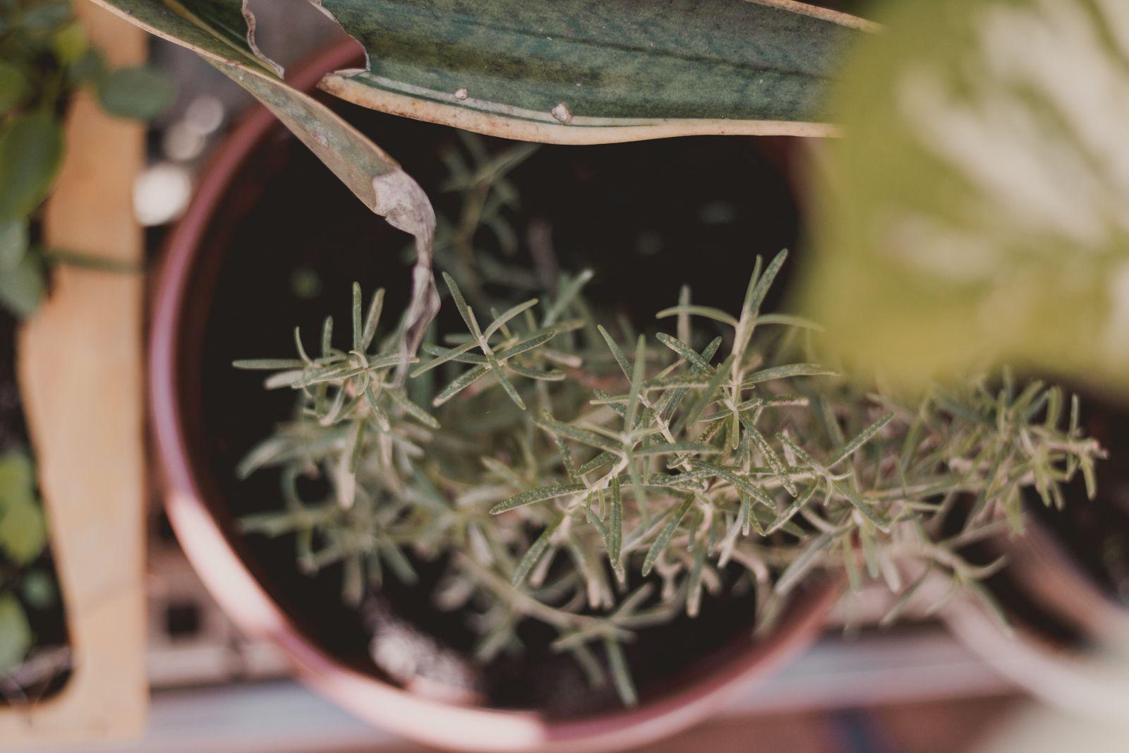 Adoradores de plantas | Houseplant jungle alecrim