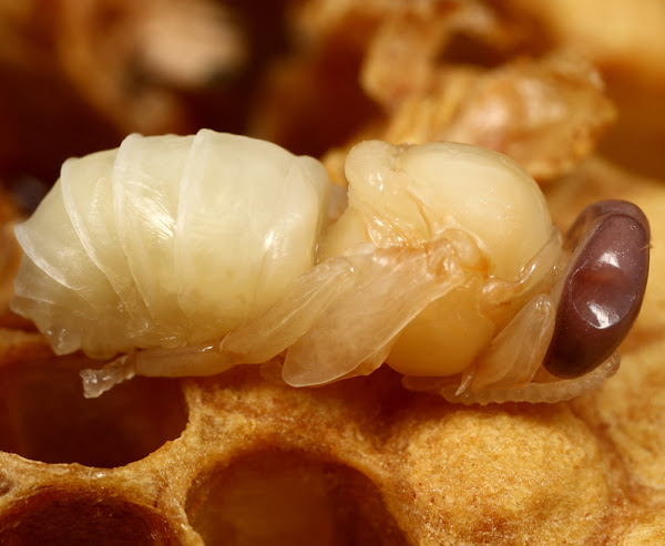 7300 Gambar Daur Hidup Hewan Lebah Gratis