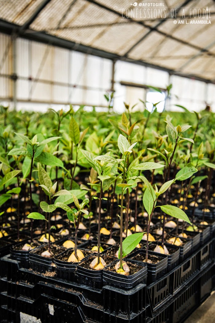 Farm To Table The Life Of An Avocado Photo Story Amp Recipes