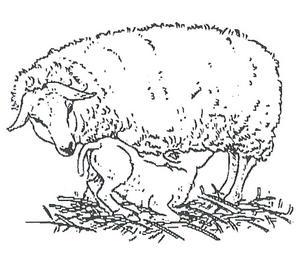 Le loup dans le haut diois - Brebis dessin ...