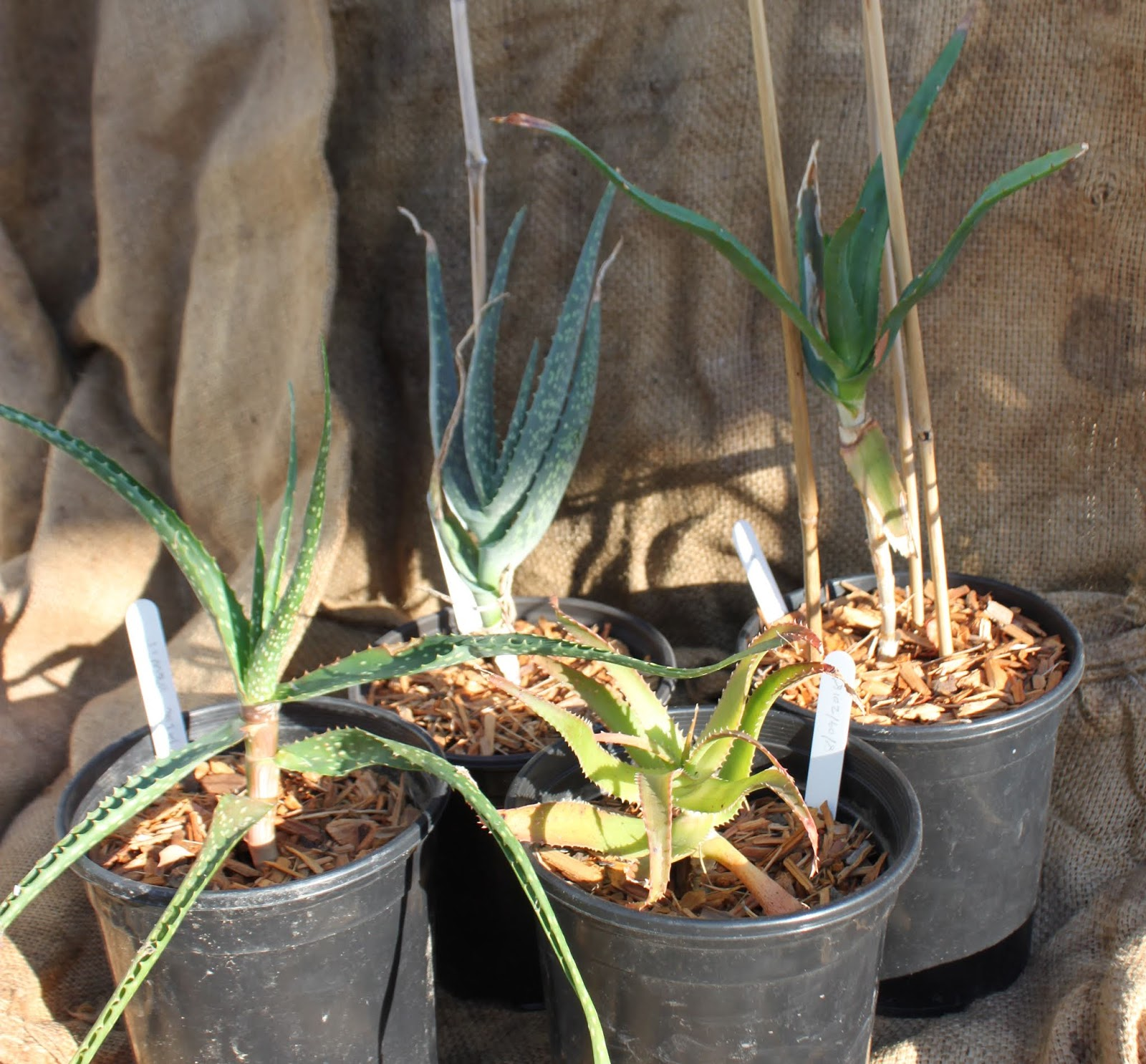 Mail Order From Institute For Aloe Studies