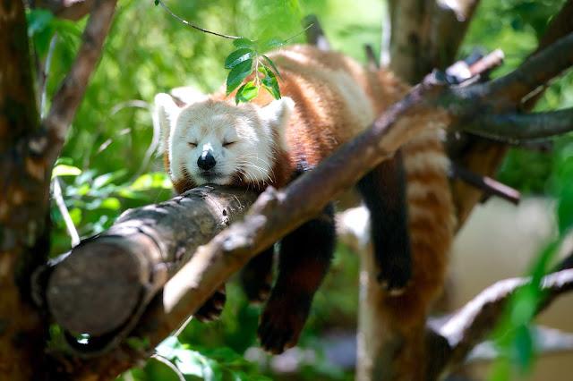 Panda rojo durmiendo en una rama